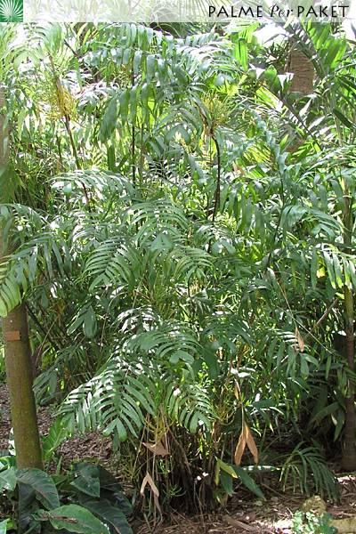 Seifriz S Bambuspalme Chamaedorea Seifrizii Palme Per Paket