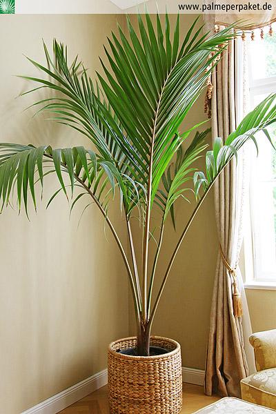 Trachycarpus fortunei 18°C Hanfpalme 80-110cm Stamm 10-20cm    Winterhart