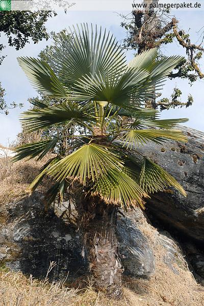 trachycarpus takil im nat rlichen verbreitungsgebiet palme per paket. Black Bedroom Furniture Sets. Home Design Ideas