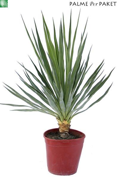 jungpflanze von yucca gloriosa 39 nobilis 39 gr e 50 cm. Black Bedroom Furniture Sets. Home Design Ideas