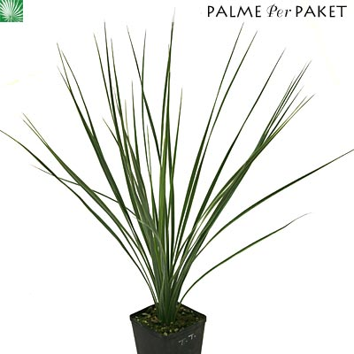 jungpflanze von yucca thompsoniana gr e 20 cm palme. Black Bedroom Furniture Sets. Home Design Ideas