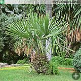 Erwachsene Rhapidophyllum hystrix in San Remo, Italien