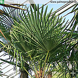 Erwachsene Trachycarpus fortunei - Größe 220 cm