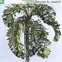 Blattkrone erwachsene Pflanze
