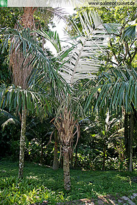 Erwachsene Allagoptera caudescens im natürlichen Verbreitungsgebiet