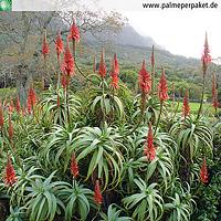 Erwachsene Aloe arborescens in Kultur