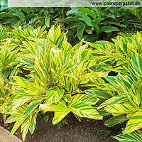 Alpinia zerumbet 'Variegata' ausgepflanzt im Garten