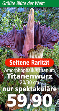 Blüte von Amorphophallus titanum