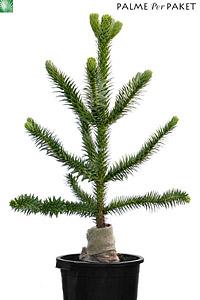 Junpflanze 110cm