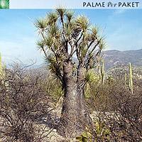Erwachsene Beaucarnea gracilis im natürlichen Verbreitungsgebiet