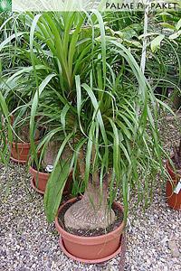 Jungpflanze 80cm