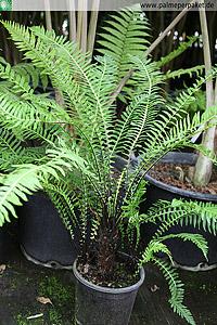 Jungpflanze von Blechnum nudum in Kultur - Größe 60 cm