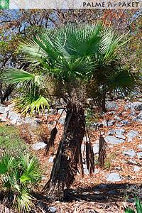 Erwachsene Brahea berlandieri im natürlichen Verbreitungsgebiet