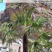 Jungpflanze von Brahea dulcis im natürlichen Verbreitungsgebiet