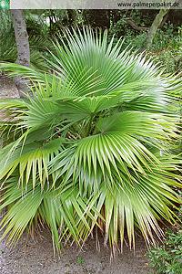 Erwachsene Brahea nitida im natürlichen Verbreitungsgebiet