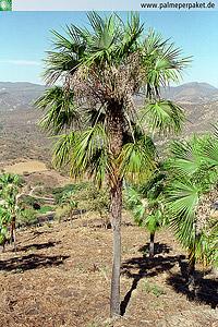 Jungpflanze von Brahea sarukhanii im natürlichen Verbreitungsgebiet