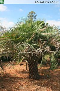 Erwachsene Butia catarinensis im natürlichen Verbreitungsgebiet