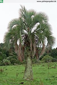 Erwachsene Butia eriospatha im natürlichen Verbreitungsgebiet