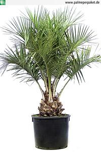 Jungpflanze von Butia odorata - Größe 220 cm