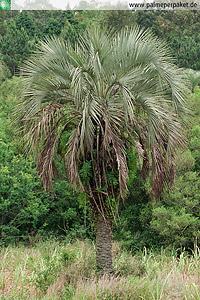Erwachsene Butia odorata im natürlichen Verbreitungsgebiet