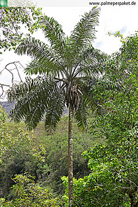 Erwachsene Ceroxylon peruvianum im natürlichen Verbreitungsgebiet