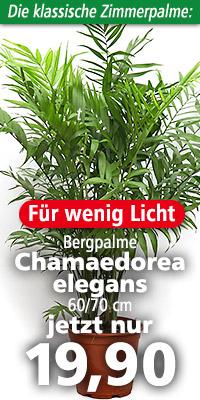Erwachsene Chamaedorea elegans im natürlichen Verbreitungsgebiet