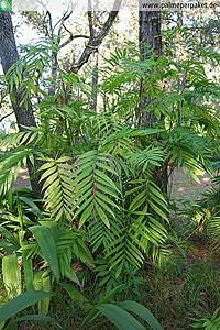 Chamaedorea microspadix im natürlichen Verbreitungsgebiet