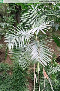 Erwachsene Chamaedorea radicalis im natürlichen Verbreitungsgebiet