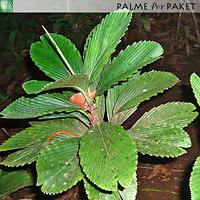 Chamaedorea tuerckheimii 'Veracruz' im natürlichen Verbreitungsgebiet