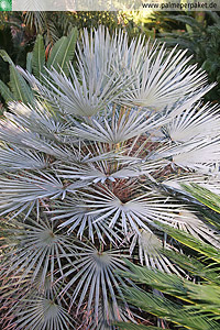 Chamaerops humilis var. cerifera im natürlichen Verbreitungsgebiet