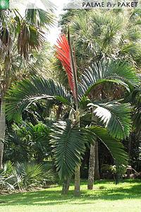 Erwachsene Chambeyronia macrocarpa mit Neutrieb