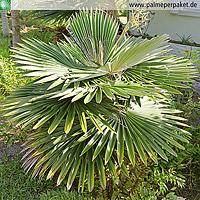 Erwachsene Coccothrinax borhidiana in Kultur