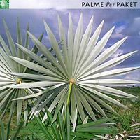 Blattunterseite von Coccothrinax miraguama