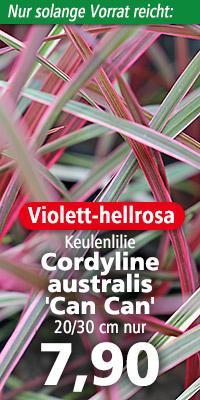 Blattkrone von Cordyline australis 'Can Can'