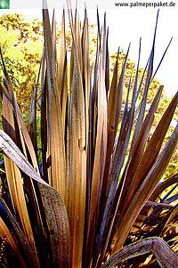 Blätter von Cordyline australis 'Red Star'