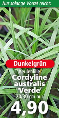 Blattkrone von Cordyline australis 'Verde'