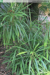 Cordyline stricta in Kultur