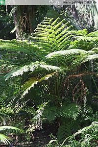 Erwachsene Cyathea australis im natürlichen Verbreitungsgebiet - Größe 200 cm