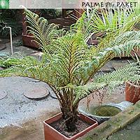 Jungpflanze von Cyathea tomentosissima - Größe 50 cm