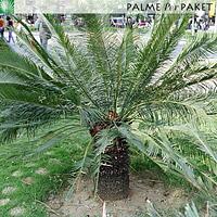 Erwachsene Cycas panzhihuaensis in Kultur