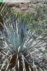 Erwachsene Dasylirion cedrosanum im natürlichen Verbreitungsgebiet