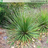 Dasylirion leiophyllum im natürlichen Verbreitungsgebiet