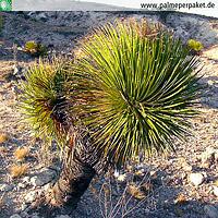 Erwachsene Dasylirion lucidum im natürlichen Verbreitungsgebiet