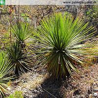 Erwachsene Dasylirion sereke im natürlichen Verbreitungsgebiet