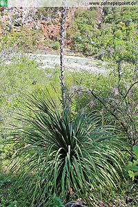 Dasylirion serratifolium im natürlichen Verbreitungsgebiet