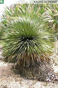 Erwachsene Dasylirion wheeleri im natürlichen Verbreitungsgebiet