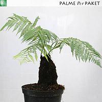 Jungpflanze von Dicksonia antarctica - Größe Stamm 20 cm