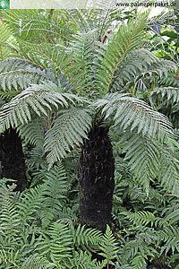 Erwachsene Dicksonia fibrosa in Kultur - Größe Stamm 80 cm cm