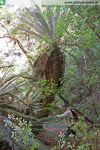 Erwachsene Dioon argenteum im natürlichen Verbreitungsgebiet