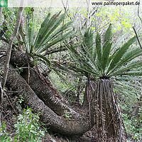 Erwachsene Dioon purpusii im natürlichen Verbreitungsgebiet